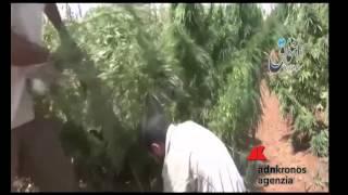 Siria, Isis da fuoco a un campo di marijuana...