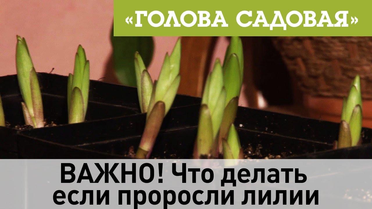 Как сажать проросшие луковицы лилий осенью 64