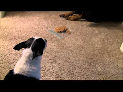 Doberman, Pit Bull and Chihuahua - A Cookie Standoff