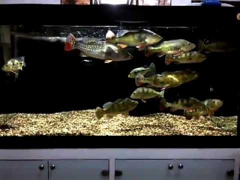 Peacock bass tank 3 youtube for Bass fish tank