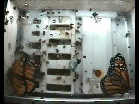 "The ""Butterflies in Space"" experiment by BioServe Space Technologies at the University of Colorado. This experiment was made possible through the support of ..."