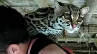 Attack of the Margay