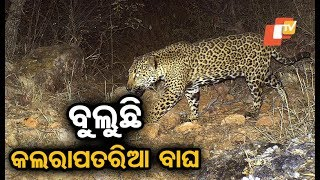 Video of leopard roaming on the roads of Titlagarh goes viral