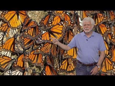 Steven Reppert (UMass) Part 1: Neurobiology of Monarch Butterfly Migration: Migration Overview