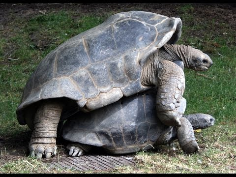 National Geographic Documentary  THE LIFE OF GIANT TORTOISE & TURTLES Nat Geo Wild
