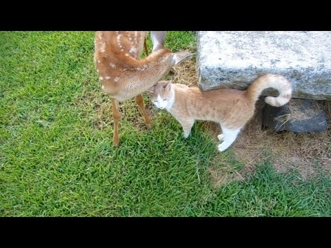 Cat visits Baby Deer again By The Lighthouse Lady