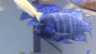 Placidochromis Ph. Tanzania -  Part 2