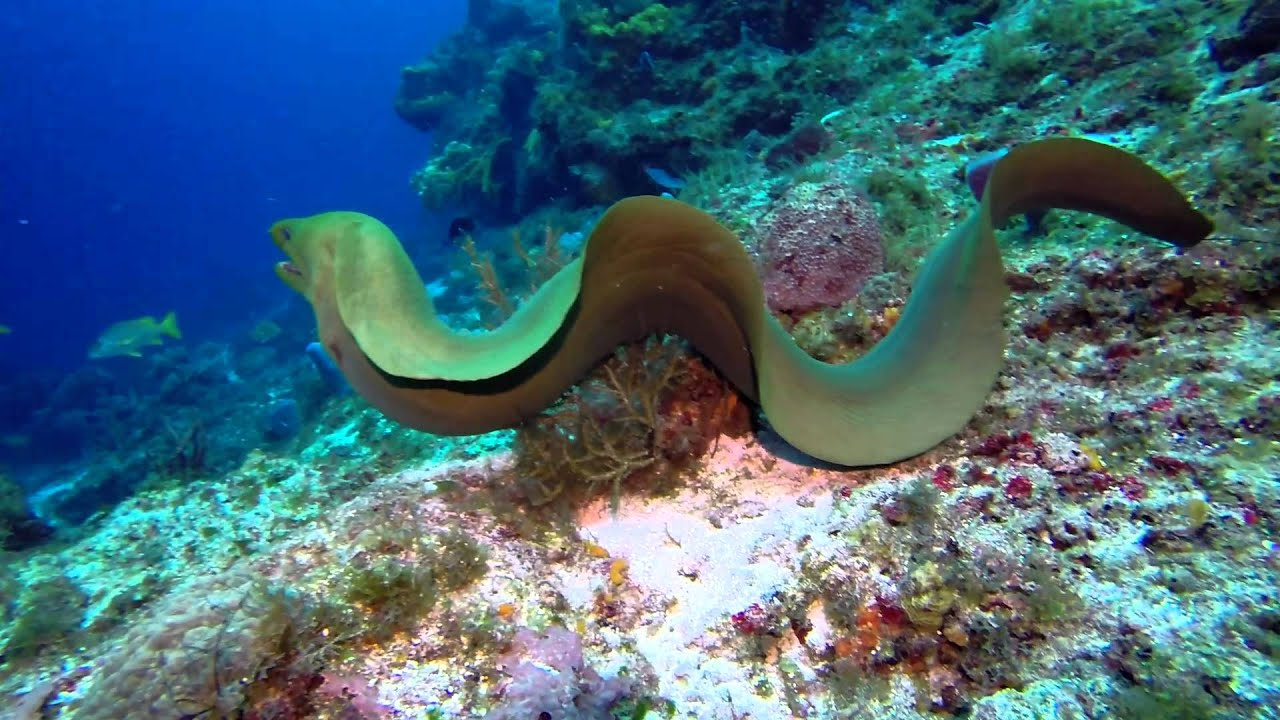 swimming with eels best giant moray ever youtube