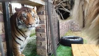 Tigers fight , this is why You don't  fight them!