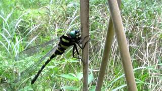 オニヤンマ (Anotogaster sieboldii)  2010  Video 06