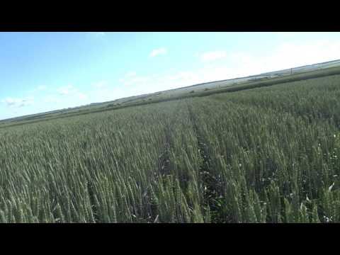 Яровая пшеница, Тризо, норма высева 65 кг./га (2 млн.шт./га) 06.07.17