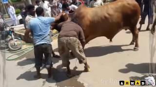 Don Big and Beautiful Cow Qurbani   Bakra Eid Qurbani Video