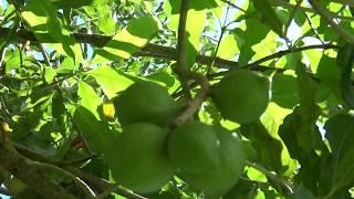 夏威夷大島-希洛 尋找夏威夷果仁 Mauna Loa Macadamia Nut Corporation