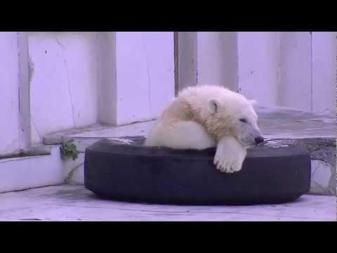 地下鉄のタイヤに入るホッキョクグマ~Polar Bear's cub enters tire