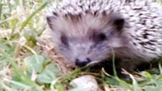 hedgehog finds a new home