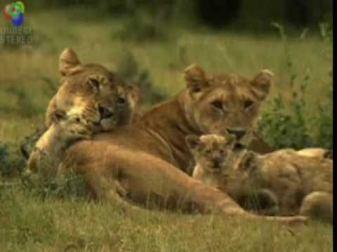 Nature's Perfect Predator : Lion