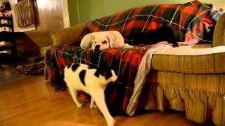 Boxer Dog Gets Ignored By Cats!