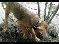 Неверотно! Пёс нашёл 377 золотых пятирублёвика времён 19 ВЕКА!Клады которые нашли животные!