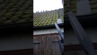 Chasse au pigeon