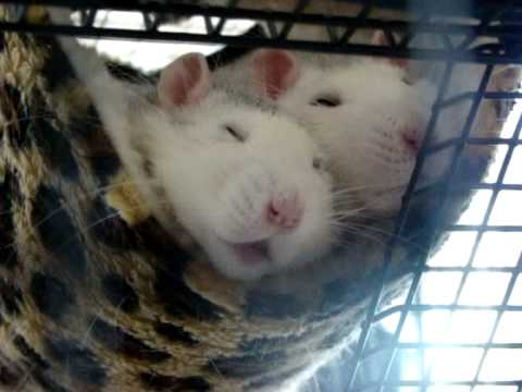 Pet rats - why it's important to have two or more