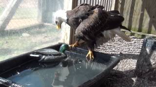"""Woody"" the Bald Eagle and duck decoy enrichment"