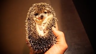 Cute And Funny Hedgehogs