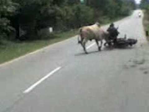 lembu gaduh langar lembu...orang kalah..