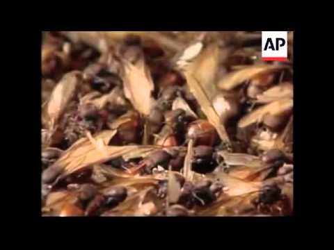 Feature on edible ants