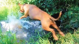 Pit Bulls BIG Jump in water