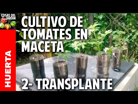 Cultivo de tomate parte 2 primer transplante for Como cultivar peces en casa
