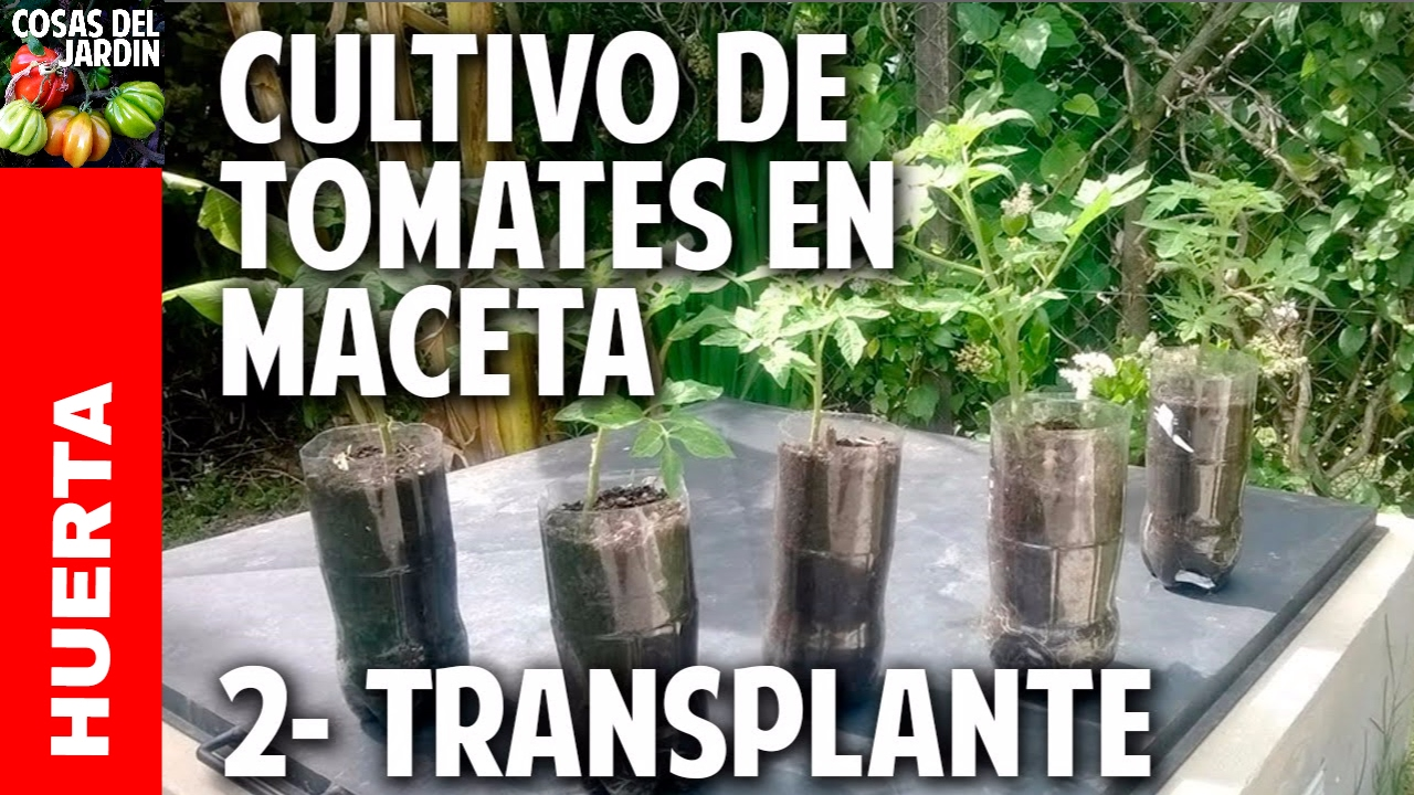 Cultivo de tomate parte 2 primer transplante Como cultivar peces en casa