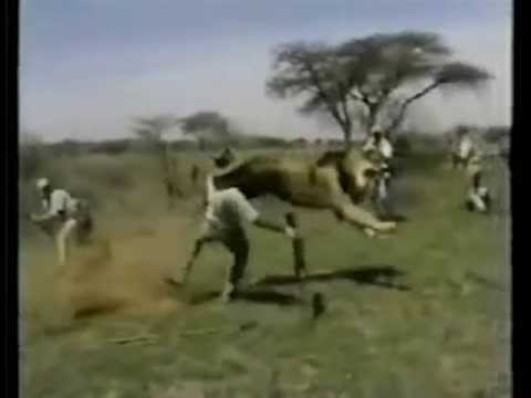 Lion Attacks Man (Horrific Lion Attack!)