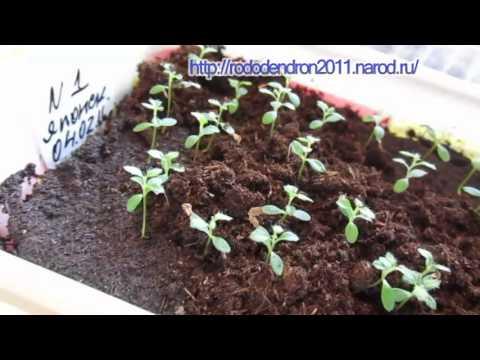 Как сажать азалию семенами 41