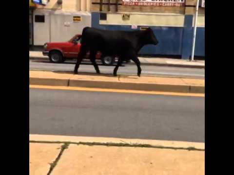 Cows Running Cow Running Down North Ave in
