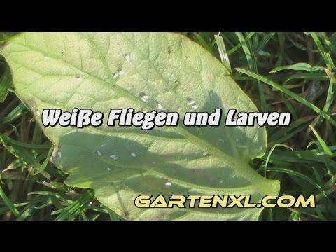 Weiße Fliegen bekämpfen - Weiße Fliege im Gemüsebeet / an Tomaten bekämpfen
