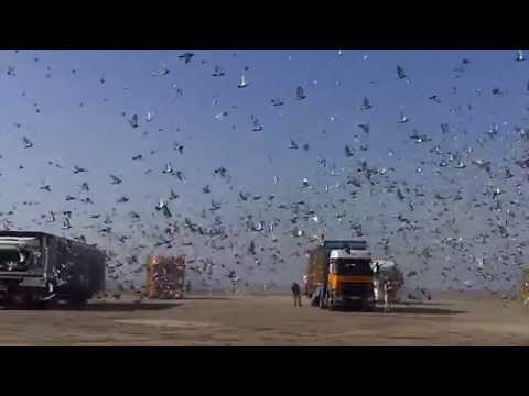 Barcelona International Pigeons Race 2013 Slow Motion