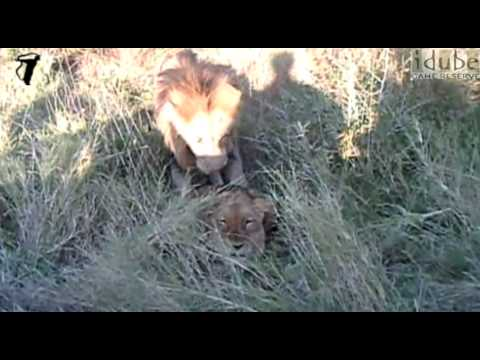 Sex In The Wild: Lions Mating - Big Cats of South Africa #youtubeZA thumbnail