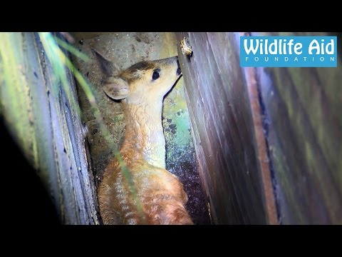 Deer rescued from sure death - Wildlife Rescue