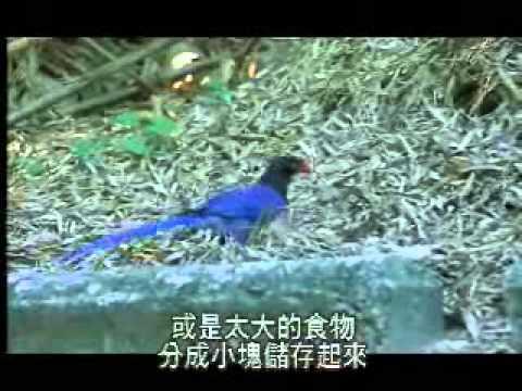 【陽明山國家公園管理處】台灣藍鵲的故事-食性