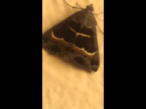 MIRACLES OF ALLAH  SUBHAN ALLAH RESEMBLANCE OF KABA ON WINGS OF FLY.