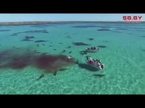 70 акул растерзали кита на глазах туристов