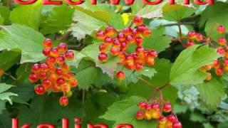 COLOR - Czerwona kalina ( Червона калина ) belarusian song po polsku
