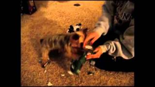 Cute Puppy Opens Presents