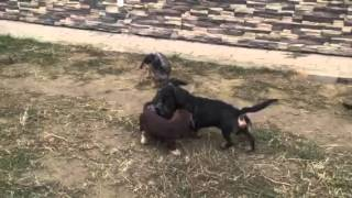 "My wirehaired dachshunds on the walk (kennel ""Iz Novo-Peredelkino"")"