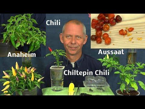 Chiltepin Chili Aussaat und anderes zu den Chilis