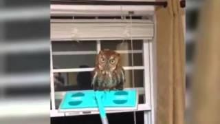 Eule in Wohnzimmer geflogen. Uhu landet im Zimmer einer Wohnung bzw. verirrt sich. Der böse Blick