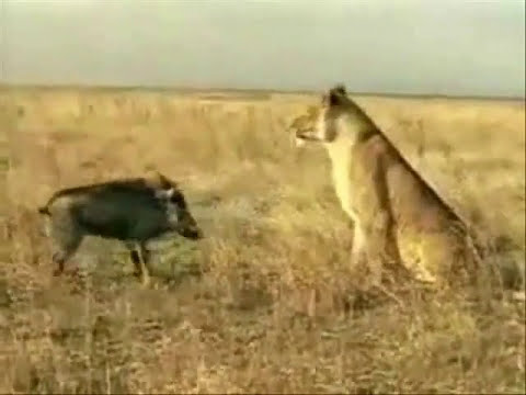 Pig won vs a Lion - a great lesson