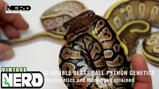 Understanding Double Beast Ball Python Genetics-Ball Python Genetics and Markings Explained