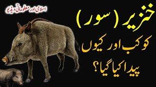 Pig || Khanzeer || Why ALLAH created Pig? || Knowledge || Sooar || सूअर