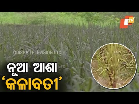 Black rice makes a comeback in Odisha